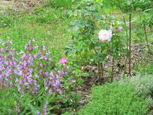 Historische Rosen mit Kräutern, Foto: U. Postler