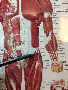 股関節痛は縫工筋が原因になっていることもあります。