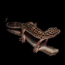 Leopardgecko 'Monsieur' Light Black Night