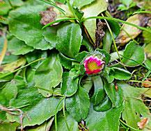 Gänseblümchen (Bellis perennis) mit Blütenknospe im Februar