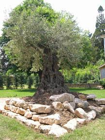 sylva-jardins-paysages.fr-Plantation en butte d'un Olivier gros sujet