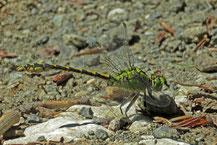 Grüne Flussjungfer Foto: Gerwin Bärecke