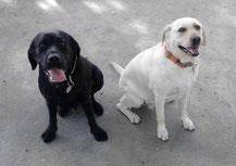 Eddie (izquierda) y Guinness, dos perros de asistencia para niños con autismo. Foto: Miguel Ángel Signes Llopis