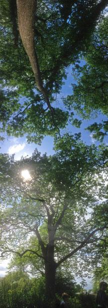 Oak Tree by Georgina Ettridge