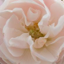 Hexenrosengarten Rosenblog Mme Pierre Oger