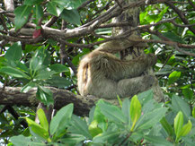 Faultier im Baum