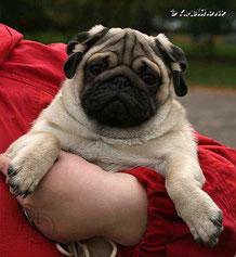 мопс щенок фото