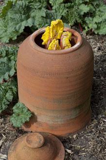 Rhabarberbleichtopf. Die ersten gebleichten Rabarbersproßen sind reif für die Ernte. www.the-golden-rabbit.de