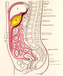 横から見た内臓位置