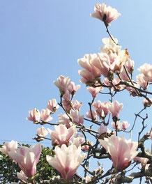 空に伸びるモクレンの花