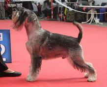 "Ch INTER, RUS, SLO, RKF, CLUB,GRAND, JCh RUS, BLR, CLUB, RSchPU, BOB ""Cup of Prezident RKF-2016"", 5CACIB  ARGENTA'S NORDIC NOBLEMAN (Sweden)"