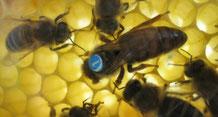 """Die Bienenkönigin, die """"Nr.1"""" im Bienenvolk"""
