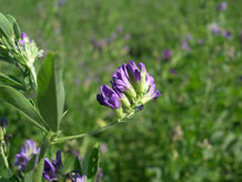 Flower of Alfalfa (Photo Credit - Arvalis)