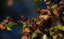 monarque papillon