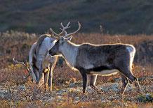 caribou renne