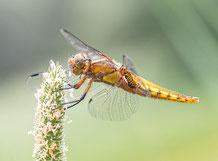 Libellen & Insekten