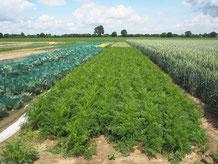Diesjähriges Gemüsefeld - im Vordergrund das Möhrenbeet