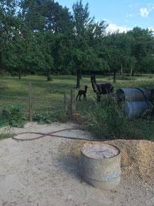 Unsere Alpaka-Stute mit dem Jungen