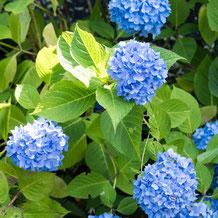 妙法山の紫陽花(アジサイ)