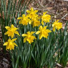 妙法山に咲く黄色い水仙
