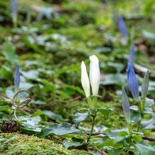 妙法山の白いアサマリンドウ