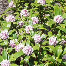 妙法山の沈丁花
