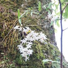 妙法山に自生する石斛(セッコク)