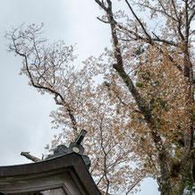 妙法山のヤマザクラ(山桜)