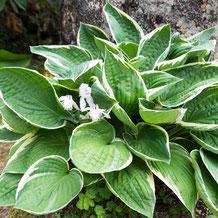 ギボウシ(擬宝珠)とオダマキ(苧環) plantain lily & Aquilegia