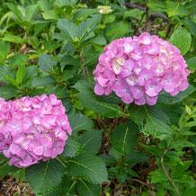 熊野古道の紫陽花(あじさい)