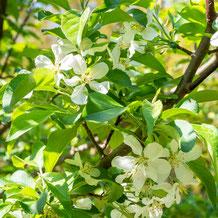 妙法山の姫リンゴの花  crabapple blossom