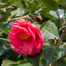 妙法山の赤い椿