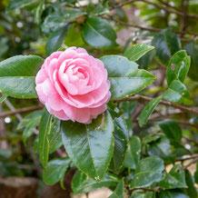 妙法山のピンク色の椿(園芸品種)