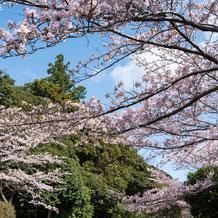 妙法山の桜(ソメイヨシノ)