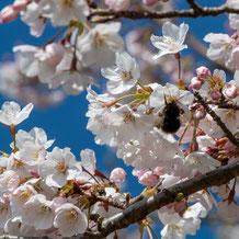 妙法山のサクラにとまるクマバチ