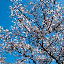 妙法山の桜