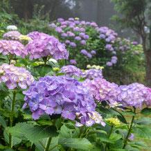 妙法山のアジサイ(紫陽花)