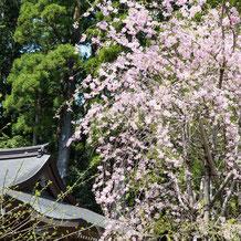 枝垂れ桜(シダレザクラ) Weeping cherry