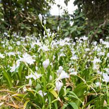 奢莪(シャガ) fringed iris, Japanese iris