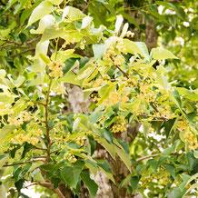 菩提樹(ボダイジュ)の花