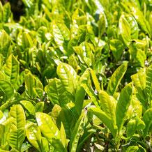 妙法山の新茶葉  New tea leaves