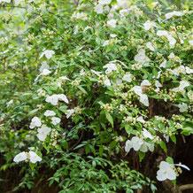 妙法山の空木(ウツギ)卯の花(ウノハナ)