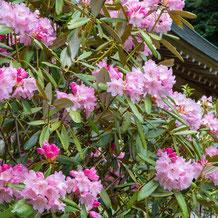 妙法山の本石楠花