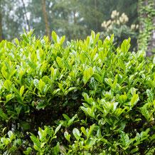 妙法山の茶の木