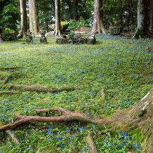 熊野妙法山、阿弥陀寺に咲くアサマリンドウ