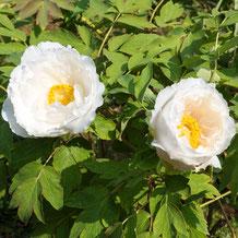 妙法山の白い牡丹 White Peony