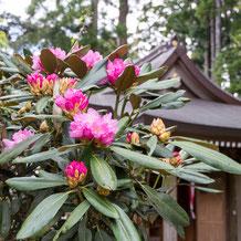 石楠花(ホンシャクナゲ) Rhododendron