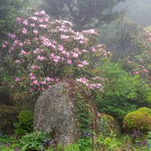 妙法山の霧の中のシャクナゲ(石楠花)