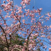 妙法山の枝垂れ桜