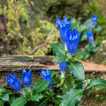 熊野妙法山阿彌陀寺に咲く朝熊竜胆